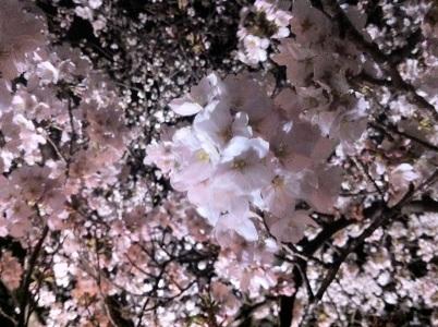 Sakura11b